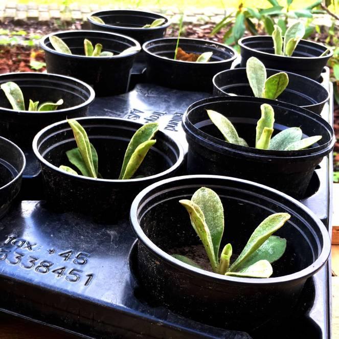 Billedet viser små stiklinger af Haveklinte, som engang, når de bliver voksne, får cyklamenfarvede blomster.