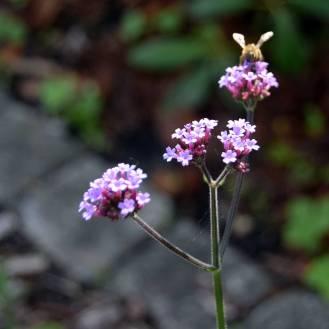 En lys violet Verbena med besøg af en bi. Køb frøene her hos os. (Gælder i august 2017)