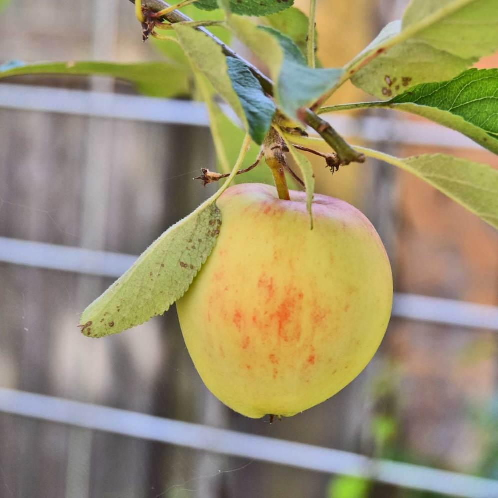Nyt æbletræ!