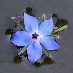 Hjulkrone med blå blomst