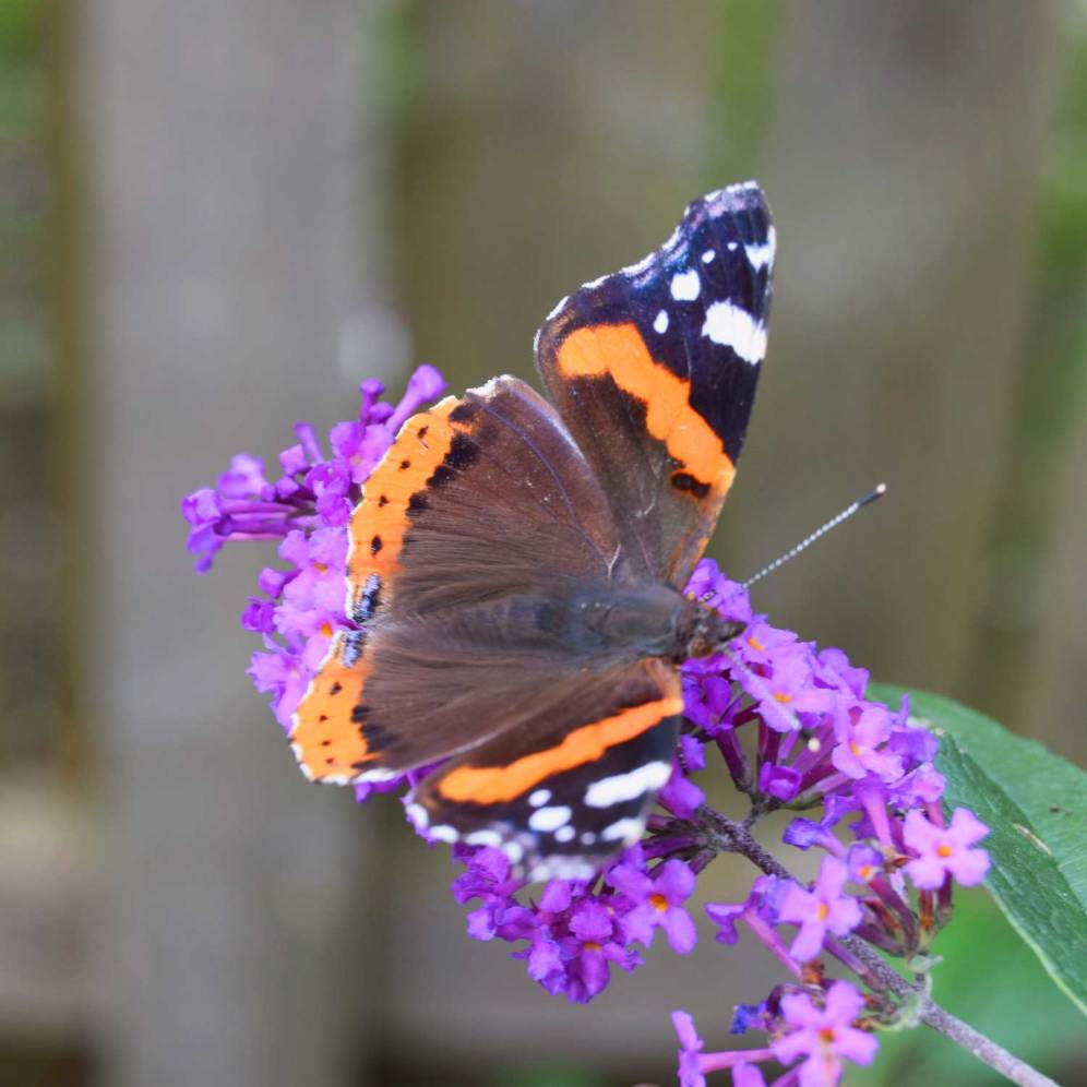 Endnu en lilla sommerfuglebusk med gæst